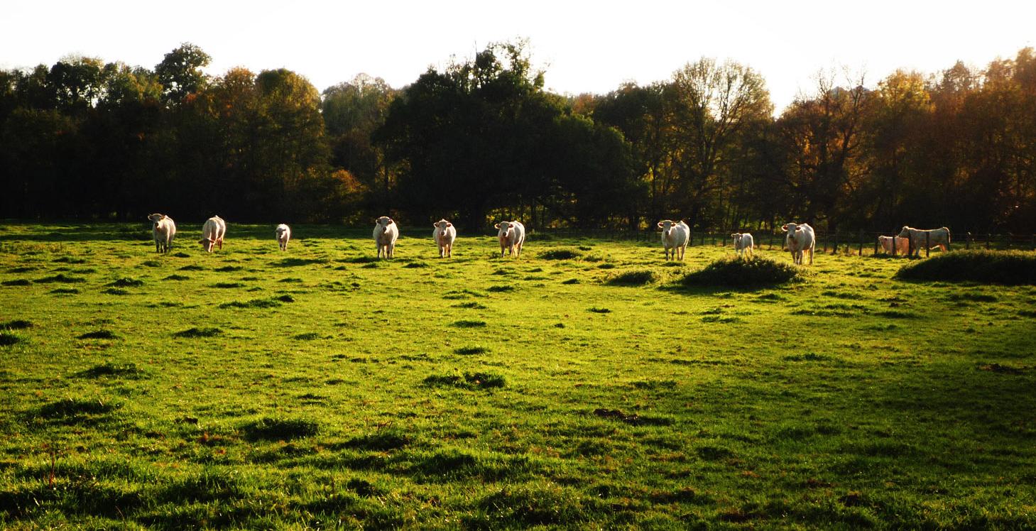 Vaches dans les prés